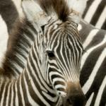 Discovering Your Unique Zebra Pattern