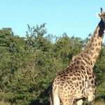 Looking at the World from a Giraffe's Point of View